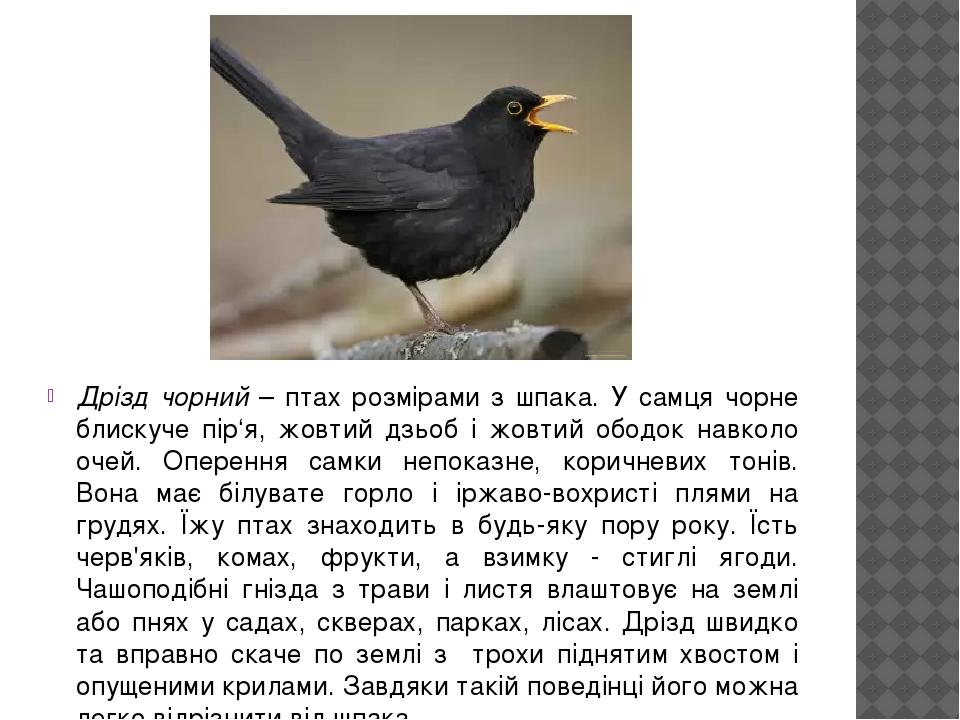 Дрізд чорний – птах розмірами з шпака. У самця чорне блискуче пір'я, жовтий дзьоб і жовтий ободок навколо очей. Оперення самки непоказне, коричневи...