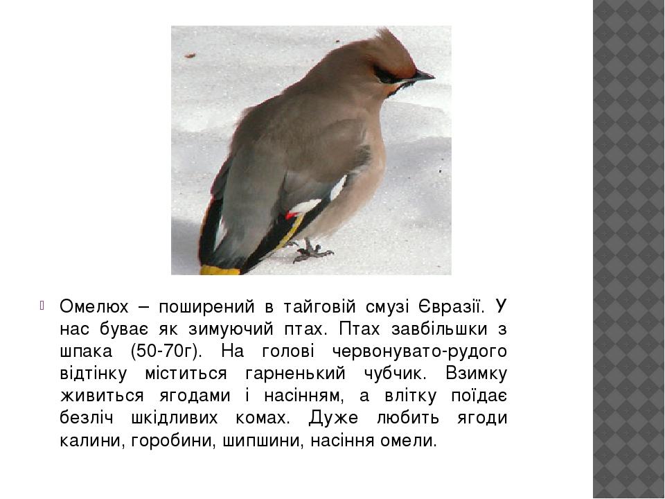 Омелюх – поширений в тайговій смузі Євразії. У нас буває як зимуючий птах. Птах завбільшки з шпака (50-70г). На голові червонувато-рудого відтінку ...