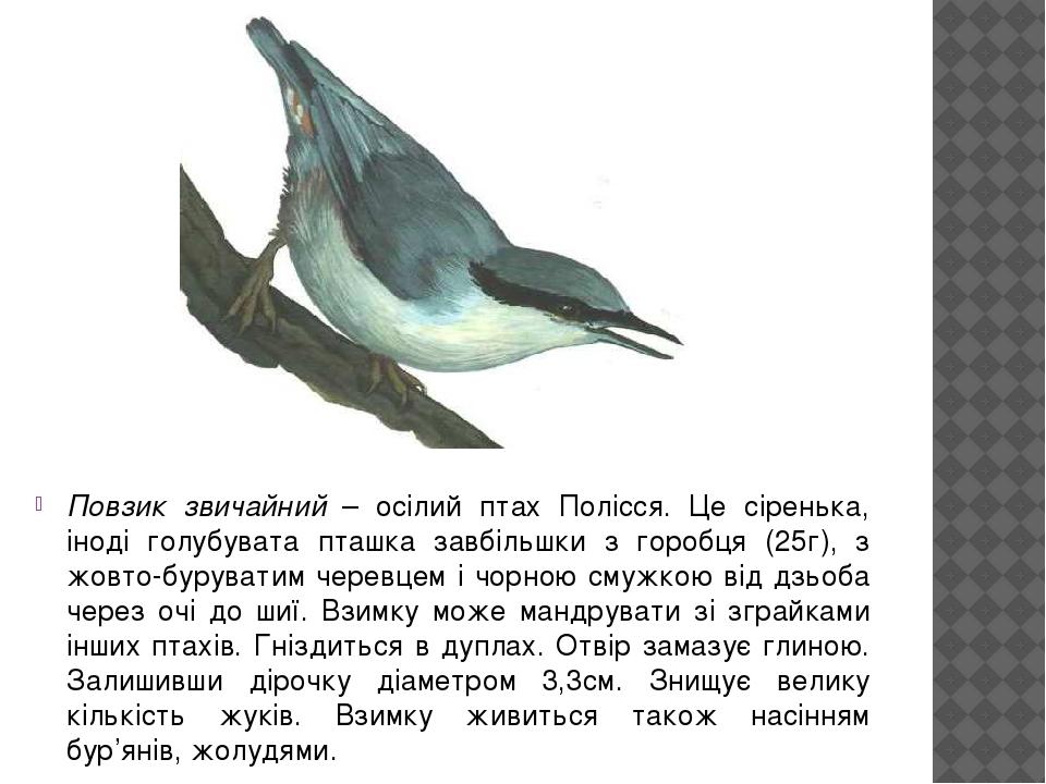 Повзик звичайний – осілий птах Полісся. Це сіренька, іноді голубувата пташка завбільшки з горобця (25г), з жовто-буруватим черевцем і чорною смужко...
