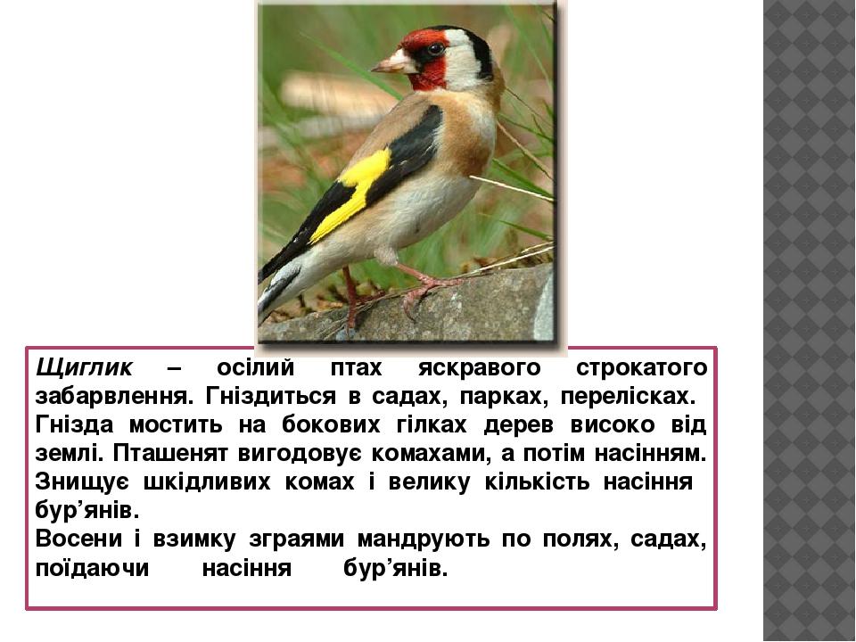 Щиглик – осілий птах яскравого строкатого забарвлення. Гніздиться в садах, парках, перелісках. Гнізда мостить на бокових гілках дерев високо від зе...