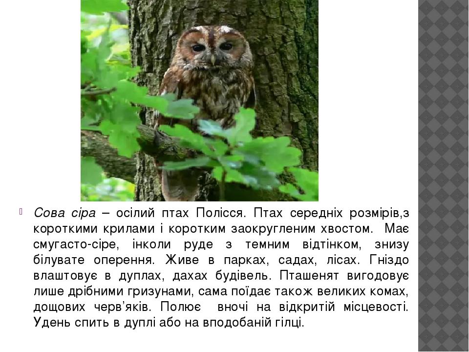 Сова сіра – осілий птах Полісся. Птах середніх розмірів,з короткими крилами і коротким заокругленим хвостом. Має смугасто-сіре, інколи руде з темни...