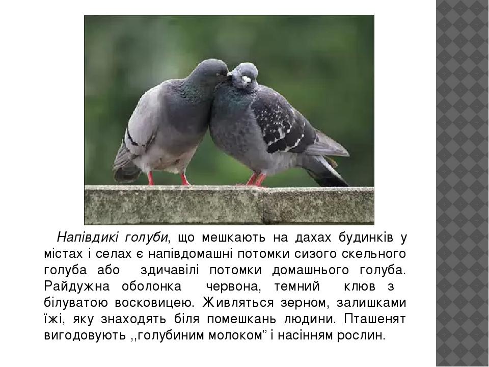 Напівдикі голуби, що мешкають на дахах будинків у містах і селах є напівдомашні потомки сизого скельного голуба або здичавілі потомки домашнього го...