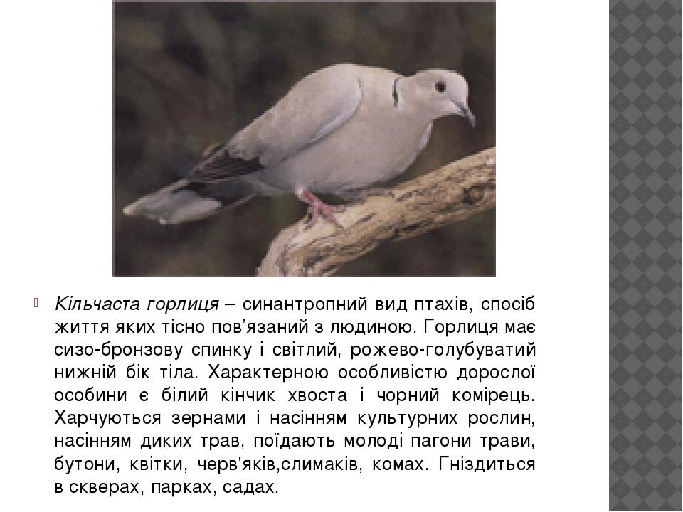 Кільчаста горлиця – синантропний вид птахів, спосіб життя яких тісно пов'язаний з людиною. Горлиця має сизо-бронзову спинку і світлий, рожево-голуб...