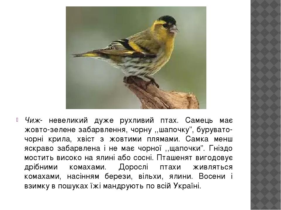 """Чиж- невеликий дуже рухливий птах. Самець має жовто-зелене забарвлення, чорну ,,шапочку"""", бурувато-чорні крила, хвіст з жовтими плямами. Самка менш..."""
