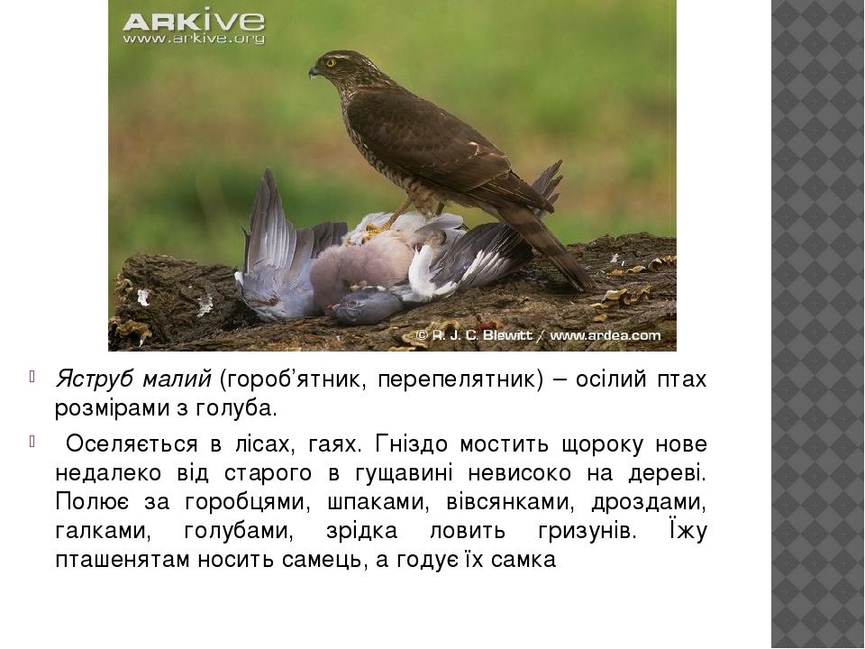 Яструб малий (гороб'ятник, перепелятник) – осілий птах розмірами з голуба. Оселяється в лісах, гаях. Гніздо мостить щороку нове недалеко від старог...