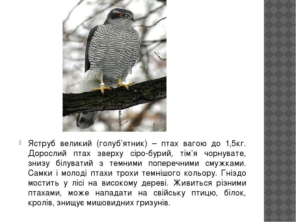 Яструб великий (голуб'ятник) – птах вагою до 1,5кг. Дорослий птах зверху сіро-бурий, тім'я чорнувате, знизу білуватий з темними поперечними смужкам...