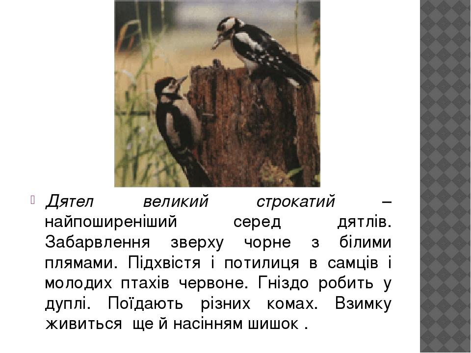 Дятел великий строкатий – найпоширеніший серед дятлів. Забарвлення зверху чорне з білими плямами. Підхвістя і потилиця в самців і молодих птахів че...