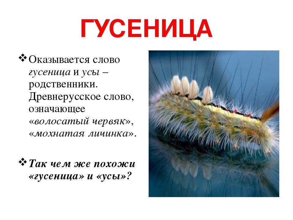 ГУСЕНИЦА Оказывается слово гусеница и усы – родственники. Древнерусское слово, означающее «волосатый червяк», «мохнатая личинка». Так чем же похожи...