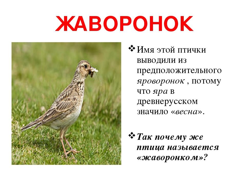 ЖАВОРОНОК Имя этой птички выводили из предположительного яроворонок , потому что яра в древнерусском значило «весна». Так почему же птица называетс...