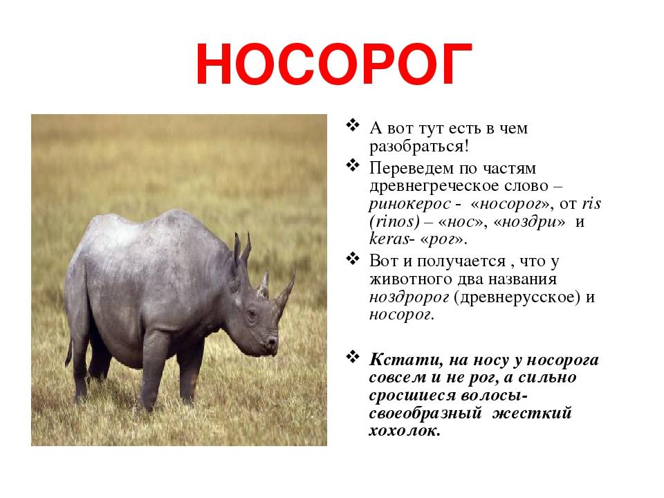 НОСОРОГ А вот тут есть в чем разобраться! Переведем по частям древнегреческое слово – ринокерос - «носорог», от ris (rinos) – «нос», «ноздри» и ker...