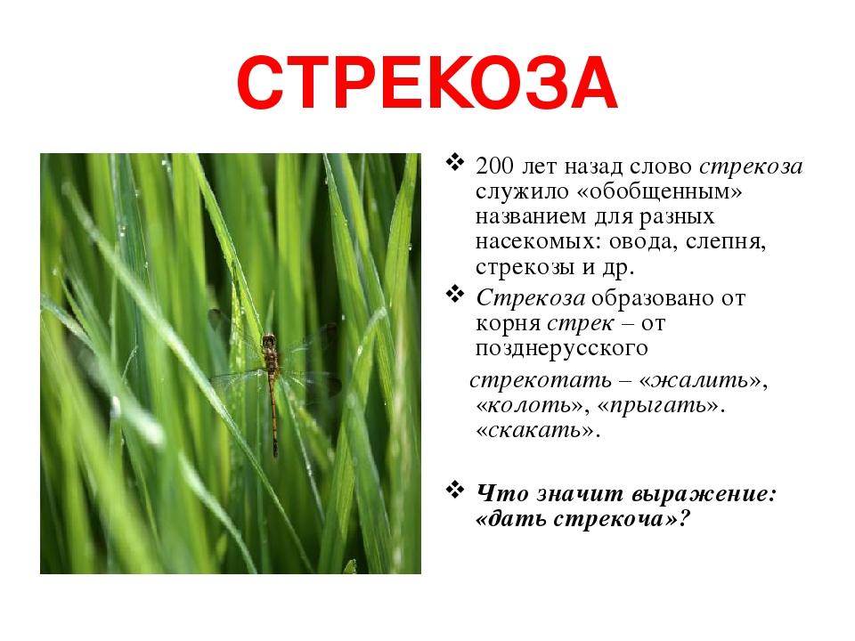 СТРЕКОЗА 200 лет назад слово стрекоза служило «обобщенным» названием для разных насекомых: овода, слепня, стрекозы и др. Стрекоза образовано от кор...