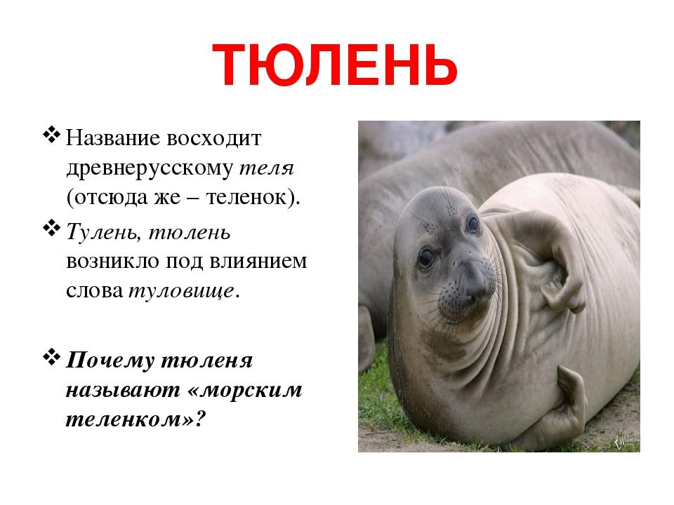 ТЮЛЕНЬ Название восходит древнерусскому теля (отсюда же – теленок). Тулень, тюлень возникло под влиянием слова туловище. Почему тюленя называют «мо...