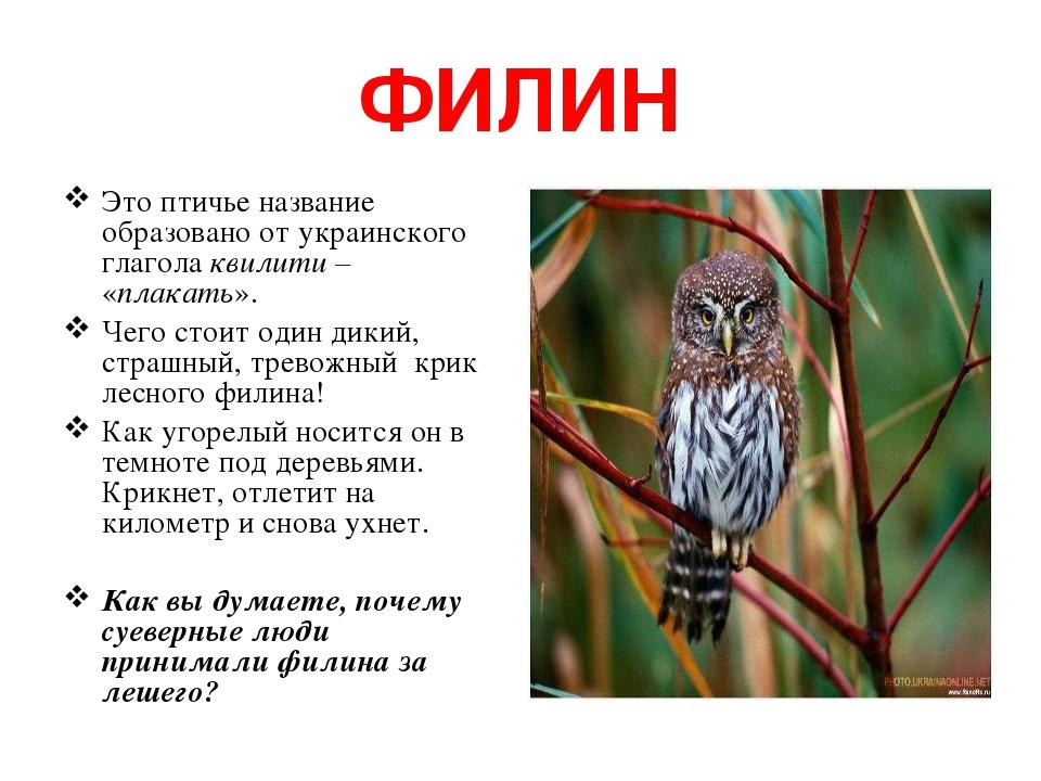 ФИЛИН Это птичье название образовано от украинского глагола квилити – «плакать». Чего стоит один дикий, страшный, тревожный крик лесного филина! Ка...