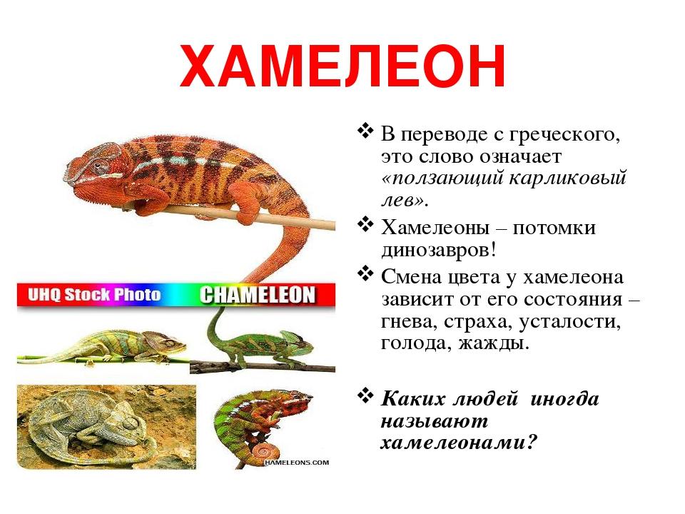 ХАМЕЛЕОН В переводе с греческого, это слово означает «ползающий карликовый лев». Хамелеоны – потомки динозавров! Смена цвета у хамелеона зависит от...
