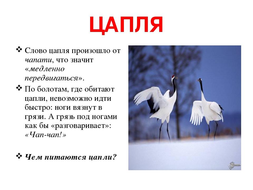 ЦАПЛЯ Слово цапля произошло от чапати, что значит «медленно передвигаться». По болотам, где обитают цапли, невозможно идти быстро: ноги вязнут в гр...