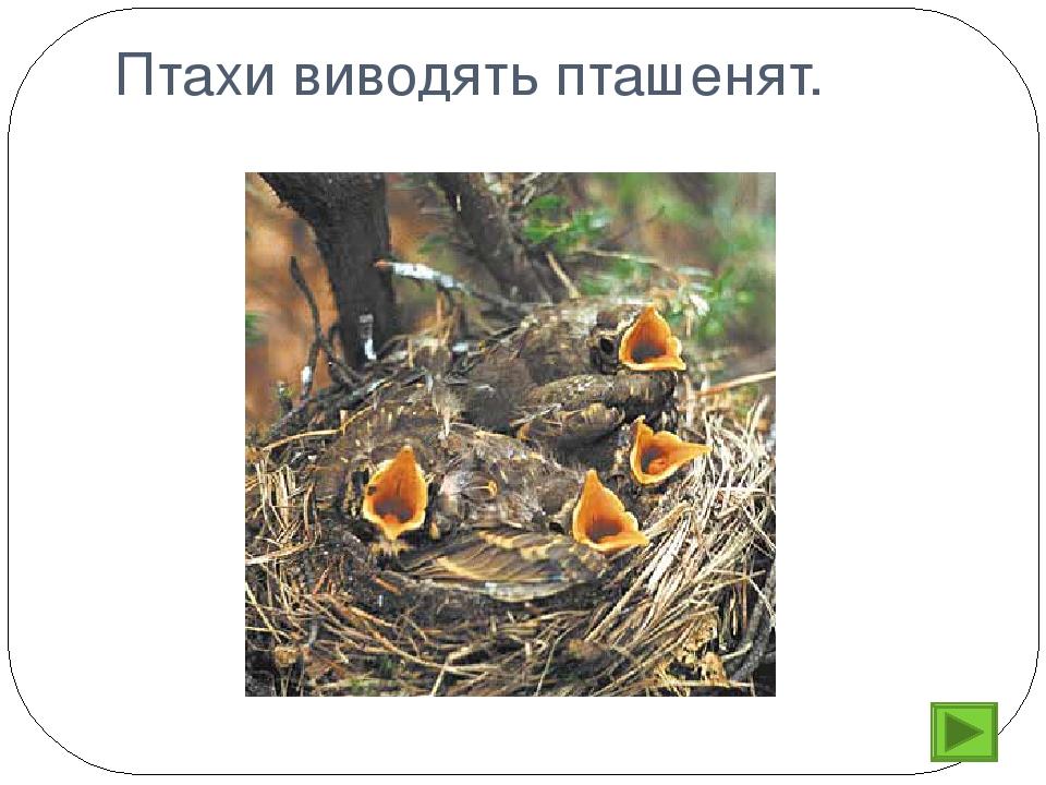 Птахи виводять пташенят.