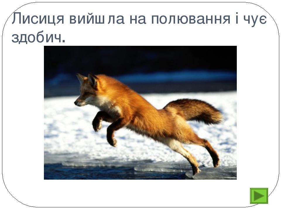 Лисиця вийшла на полювання і чує здобич.