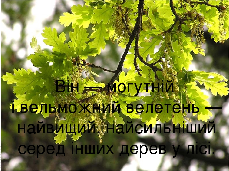 Він — могутній і вельможний велетень — найвищий, найсильніший серед інших дерев у лісі.