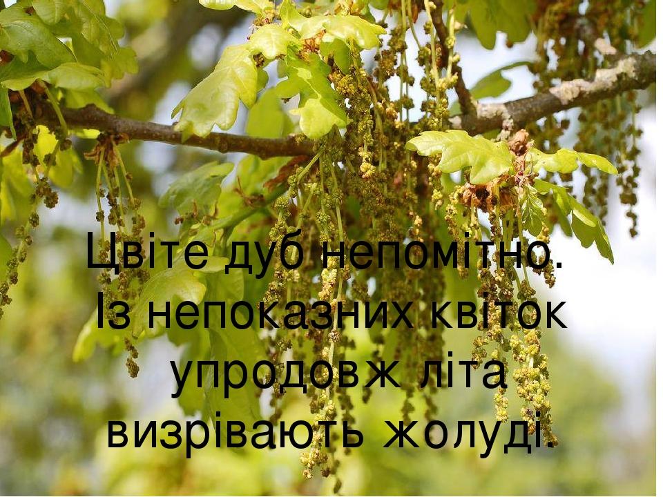 Цвіте дуб непомітно. Із непоказних квіток упродовж літа визрівають жолуді.