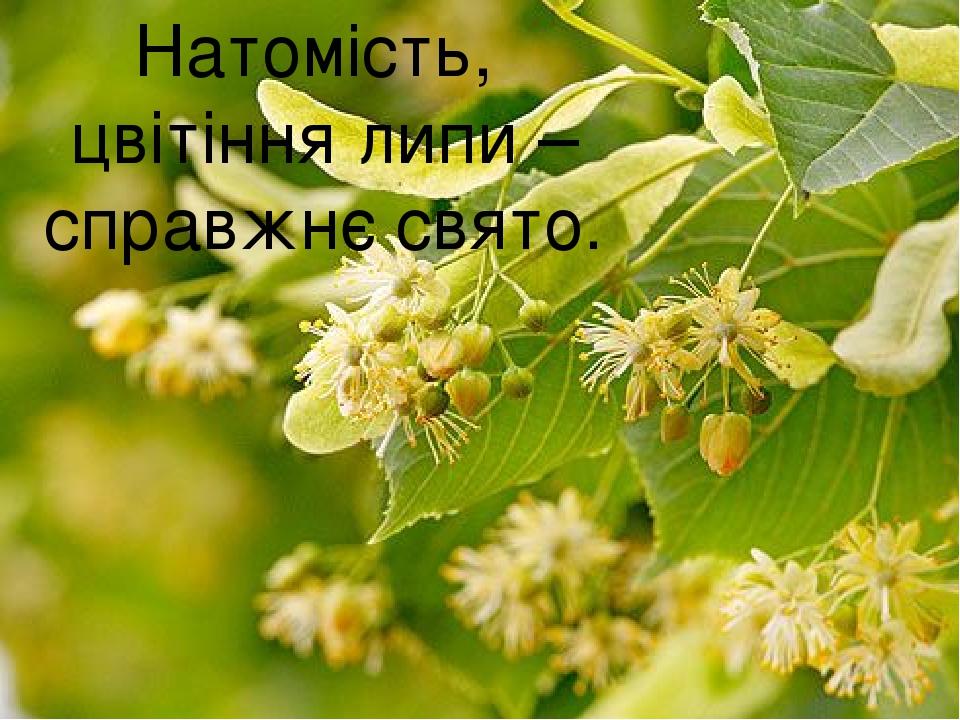 Натомість, цвітіння липи – справжнє свято.