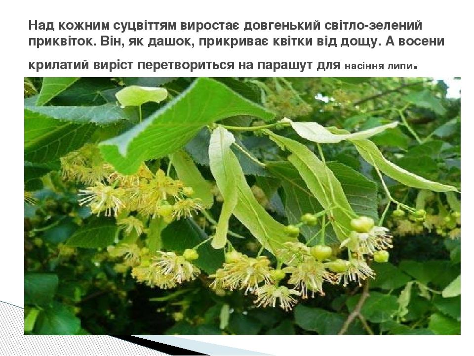 Над кожним суцвіттям виростає довгенький світло-зелений приквіток. Він, як дашок, прикриває квітки від дощу. А восени крилатий виріст перетвориться...