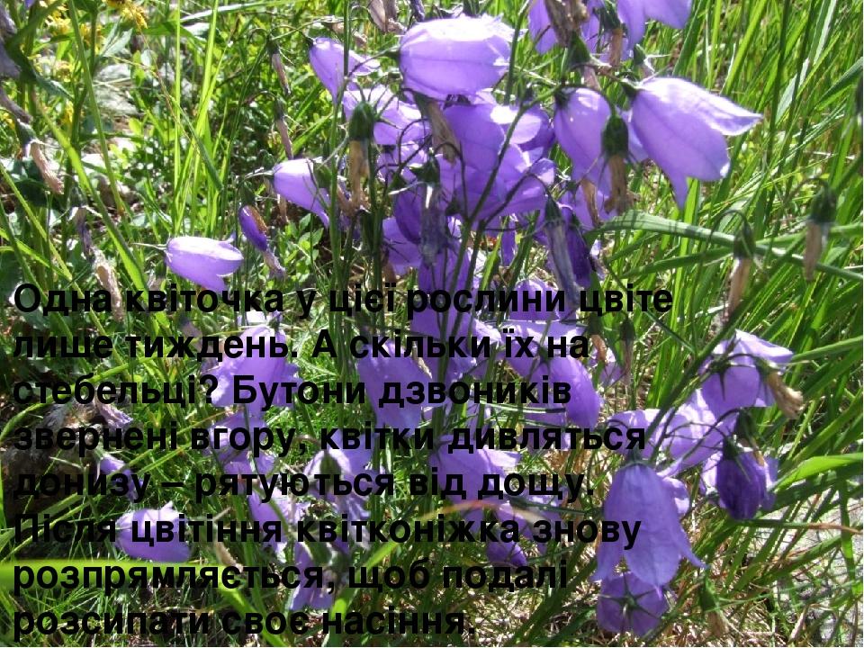 Одна квіточка у цієї рослини цвіте лише тиждень. А скільки їх на стебельці? Бутони дзвоників звернені вгору, квітки дивляться донизу – рятуються ві...
