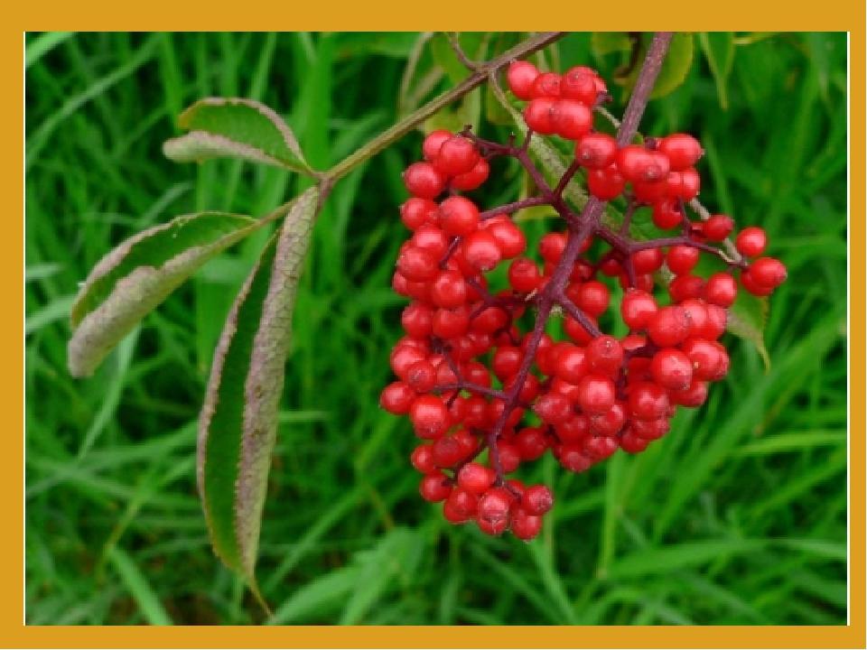 Обережно: отруйні рослини! Вовчі ягоди смертельно отруйні! А як ваблять очі ці червоні ягоди... Проте ніколи не бери їх до рук! Навіть квіти цієї р...