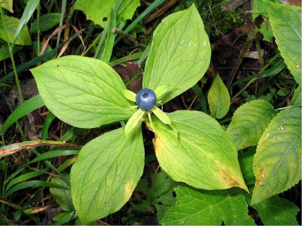 Вороняче око У лісах можна натрапити на отруйну рослину вороняче око чотирилисте. Плід у неї — куляста, чорно-сиза ягода, що дещо нагадує чорницю. ...