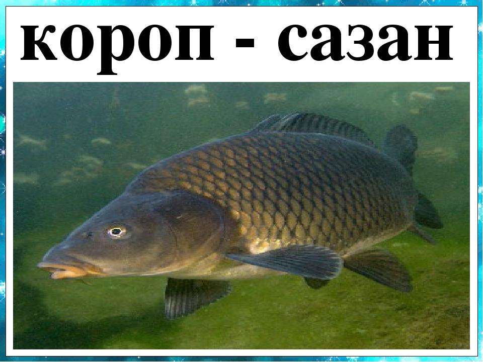короп - сазан