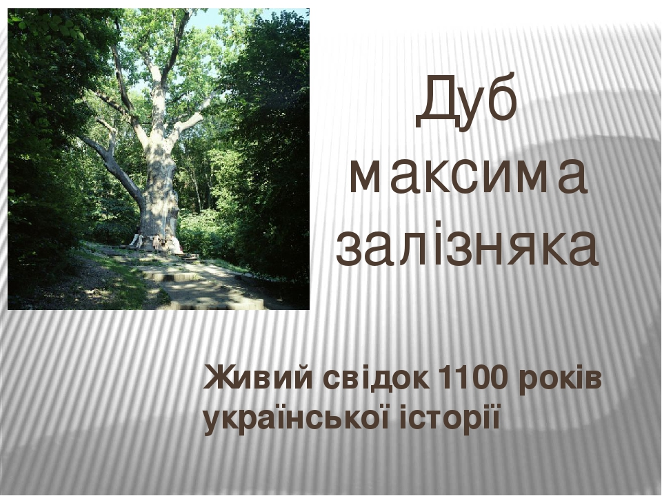 Дуб максима залізняка Живий свідок 1100 років української історії