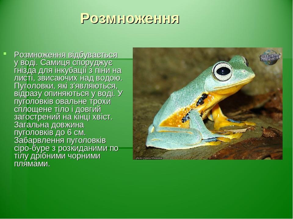 Розмноження Розмноження відбувається у воді. Самиця споруджує гнізда для інкубації з піни на листі, звисаючих над водою. Пуголовки, які з'являються...