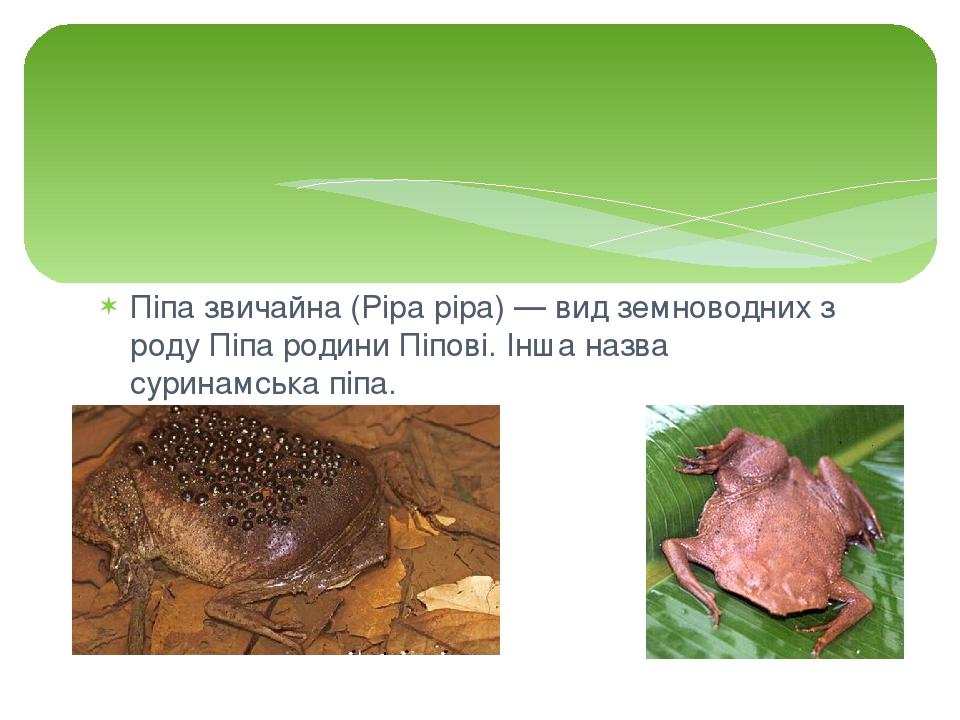 Піпа звичайна (Pipa pipa) — вид земноводних з роду Піпа родини Піпові. Інша назва суринамська піпа.