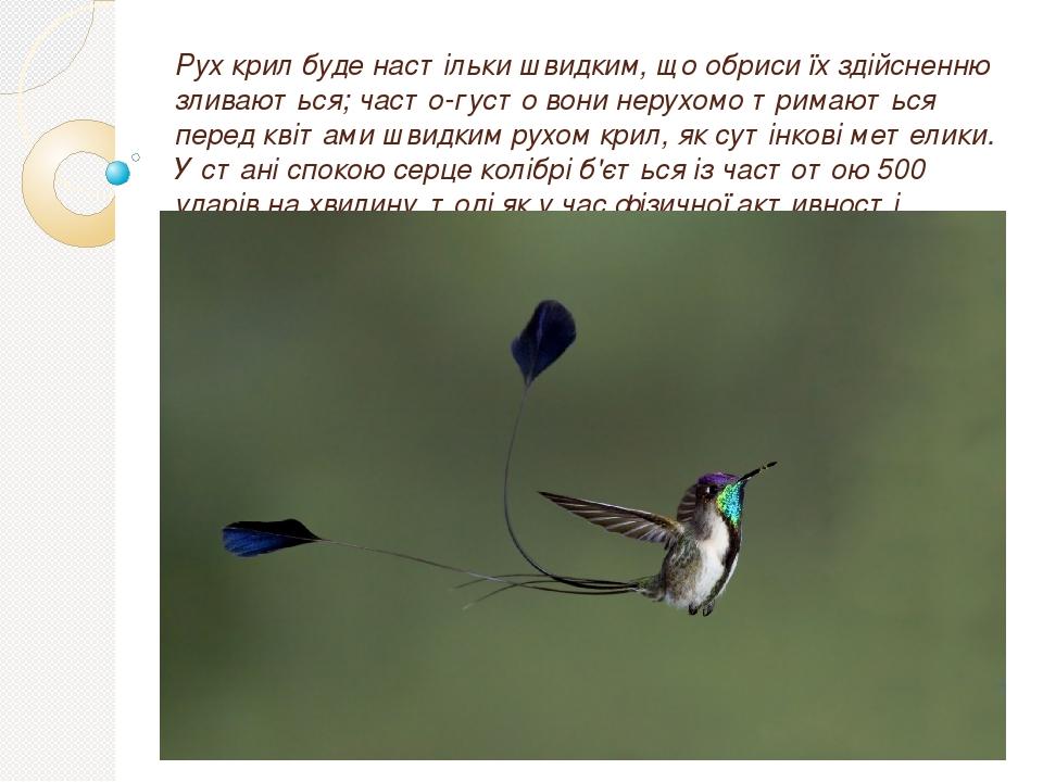 Рух крил буде настільки швидким, що обриси їх здійсненню зливаються; часто-густо вони нерухомо тримаються перед квітами швидким рухом крил, як суті...