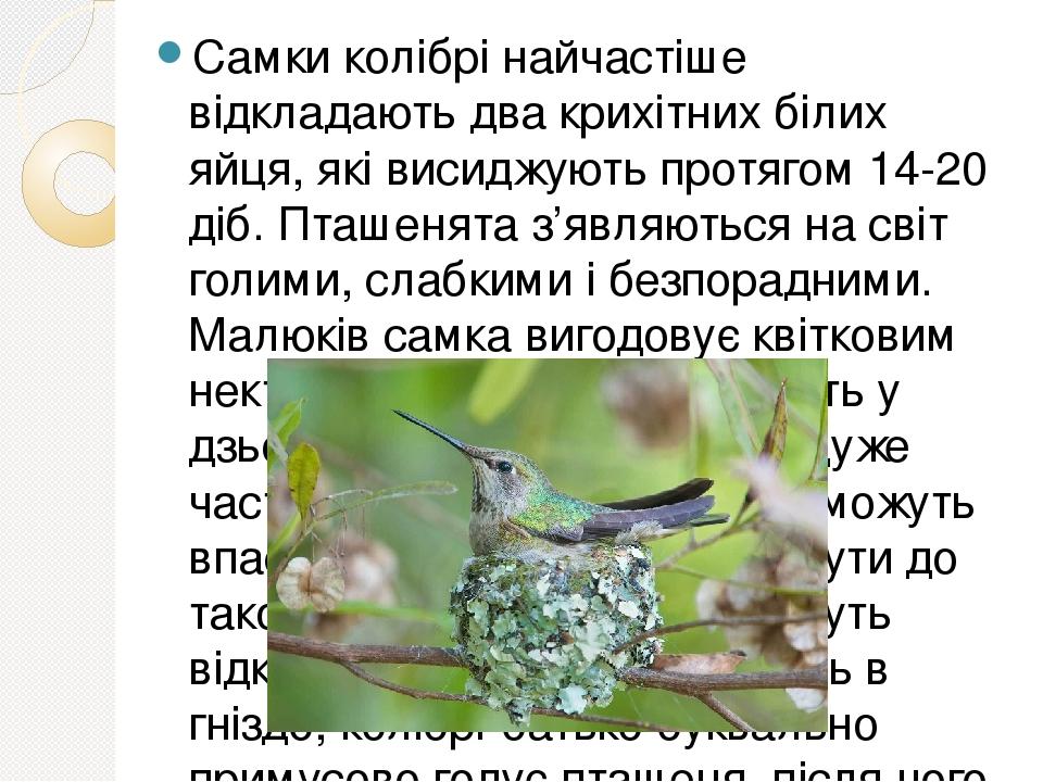 Самки колібрі найчастіше відкладають два крихітних білих яйця, які висиджують протягом 14-20 діб. Пташенята з'являються на світ голими, слабкими і ...