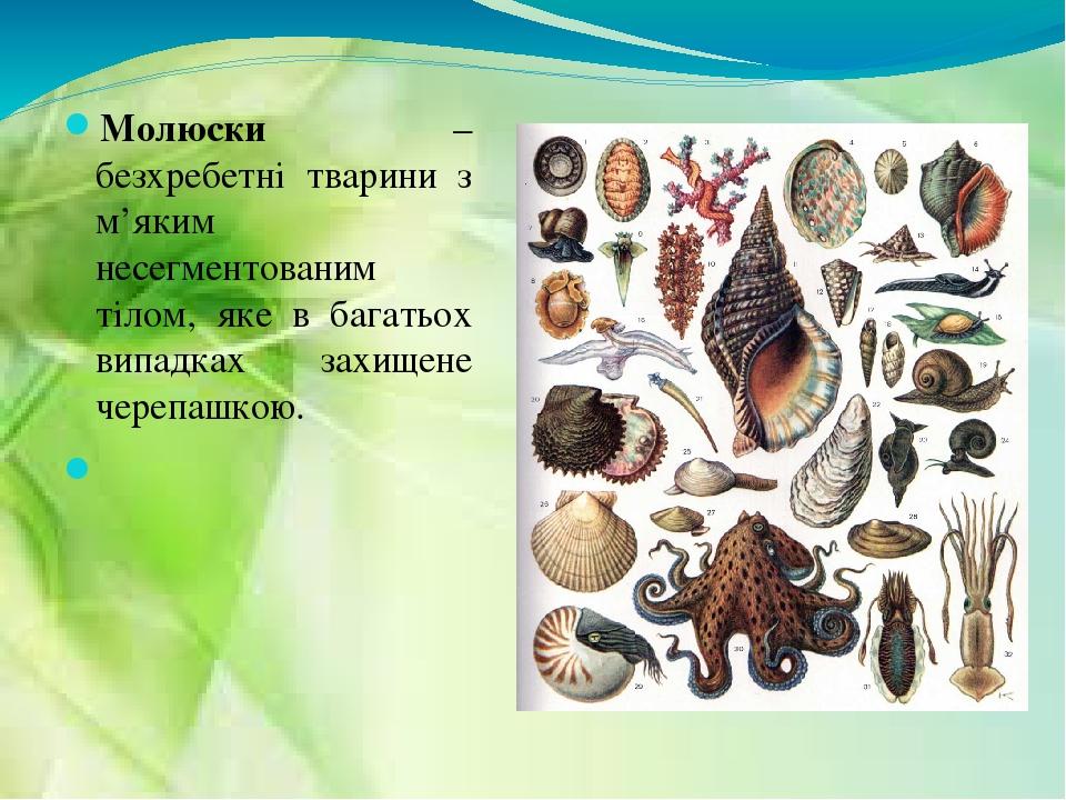 Молюски – безхребетні тварини з м'яким несегментованим тілом, яке в багатьох випадках захищене черепашкою.