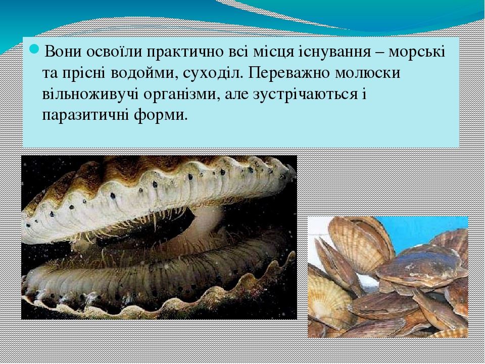 Вони освоїли практично всі місця існування – морські та прісні водойми, суходіл. Переважно молюски вільноживучі організми, але зустрічаються і пара...