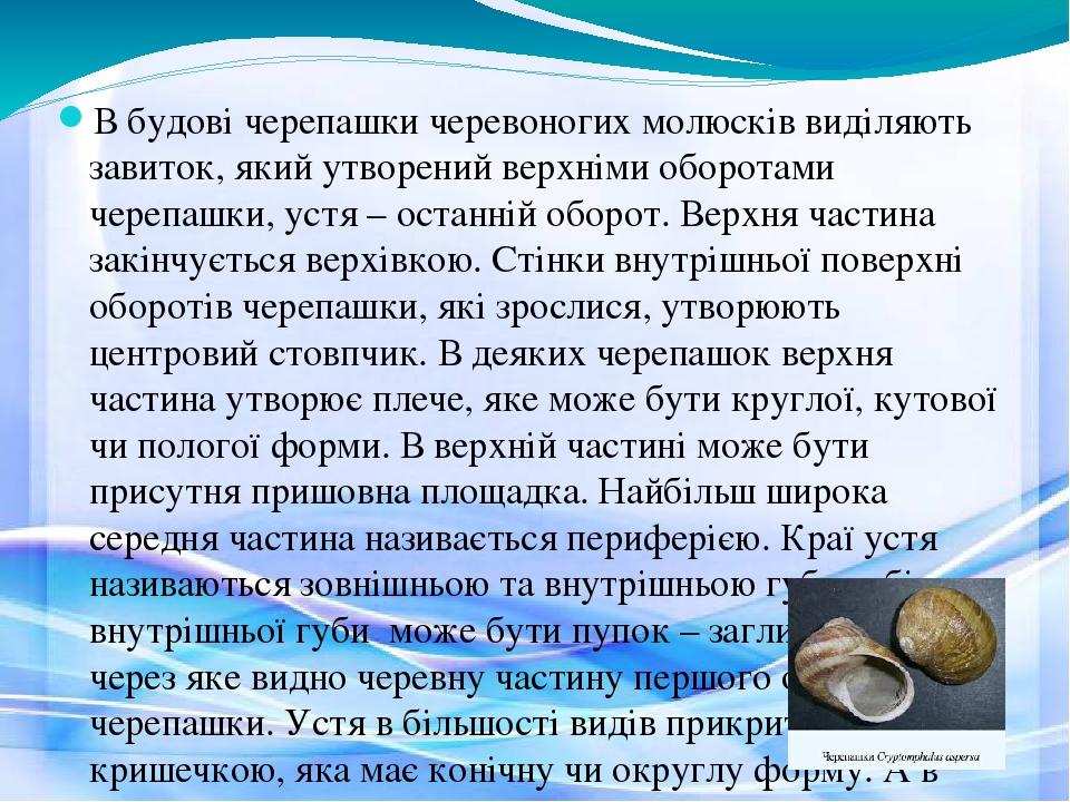 В будові черепашки черевоногих молюсків виділяють завиток, який утворений верхніми оборотами черепашки, устя – останній оборот. Верхня частина закі...