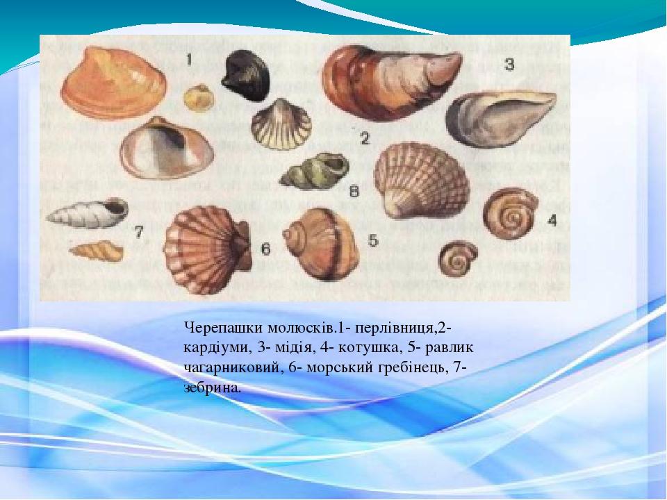 Черепашки молюсків.1- перлівниця,2- кардіуми, 3- мідія, 4- котушка, 5- равлик чагарниковий, 6- морський гребінець, 7- зебрина.