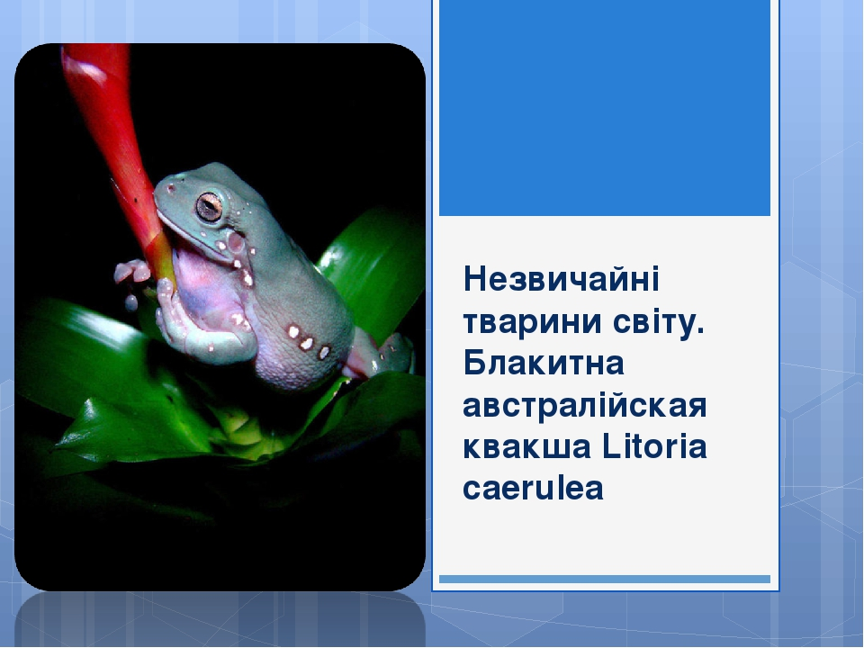 Незвичайні тварини світу. Блакитна австралійская квакша Litoria caerulea