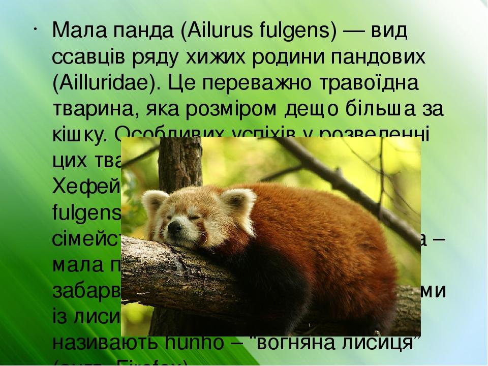 Мала панда (Ailurus fulgens) — вид ссавців ряду хижих родини пандових (Ailluridae). Це переважно травоїдна тварина, яка розміром дещо більша за кіш...