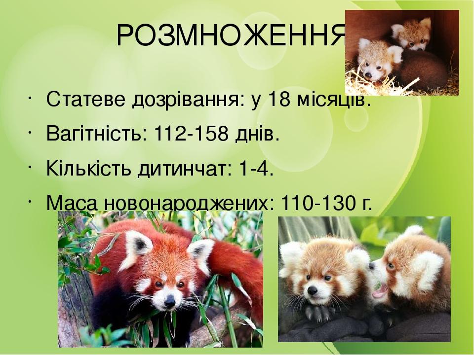 РОЗМНОЖЕННЯ Статеве дозрівання: у 18 місяців. Вагітність: 112-158 днів. Кількість дитинчат: 1-4. Маса новонароджених: 110-130 г.