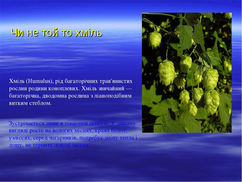 Чи не той то хміль Хміль (Humulus), рід багаторічних трав'янистих рослин родини коноплевих. Хміль звичайний — багаторічна, дводомна рослина з ліано...
