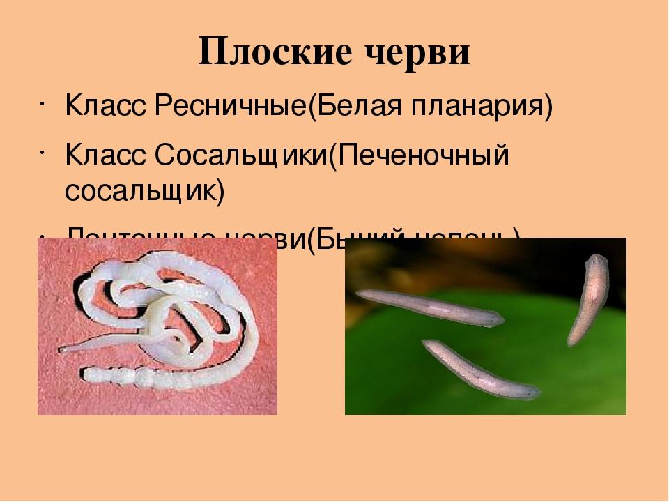 Плоские черви Класс Ресничные(Белая планария) Класс Сосальщики(Печеночный сосальщик) Ленточные черви(Бычий цепень)