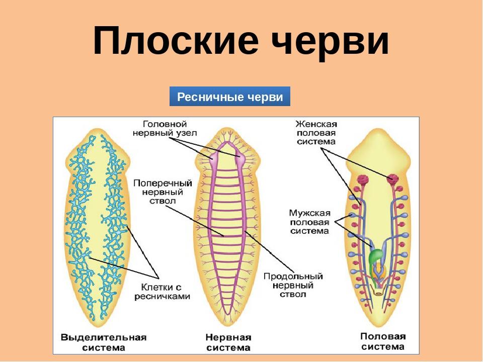 Плоские черви Ресничные черви