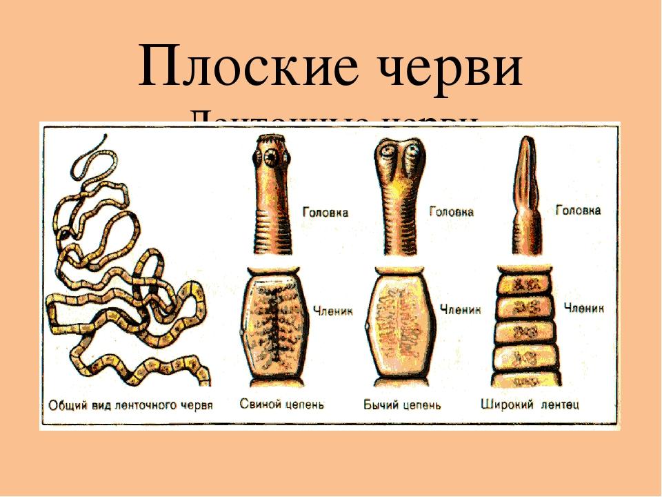 Плоские черви Ленточные черви