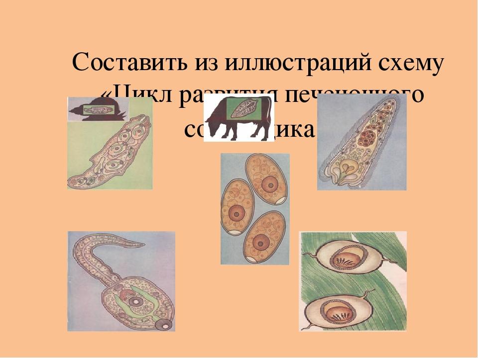 Составить из иллюстраций схему «Цикл развития печеночного сосальщика».