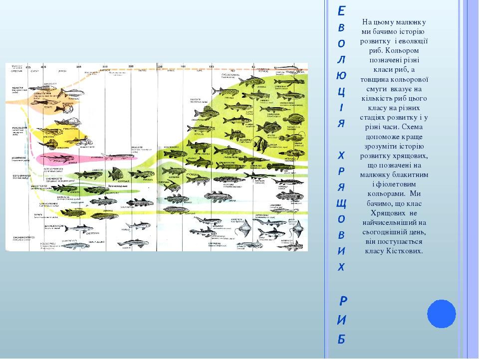 На цьому малюнку ми бачимо історію розвитку і еволюції риб. Кольором позначені різні класи риб, а товщина кольорової смуги вказує на кількість риб ...