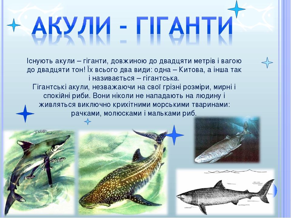 Існують акули – гіганти, довжиною до двадцяти метрів і вагою до двадцяти тон! Їх всього два види: одна – Китова, а інша так і називається – гігантс...