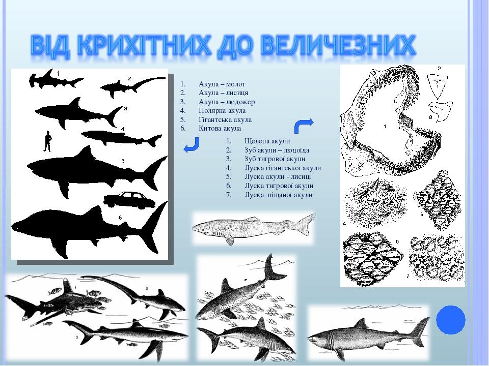 Акула – молот Акула – лисиця Акула – людожер Полярна акула Гігантська акула Китова акула Щелепа акули Зуб акули – людоїда Зуб тигрової акули Луска ...