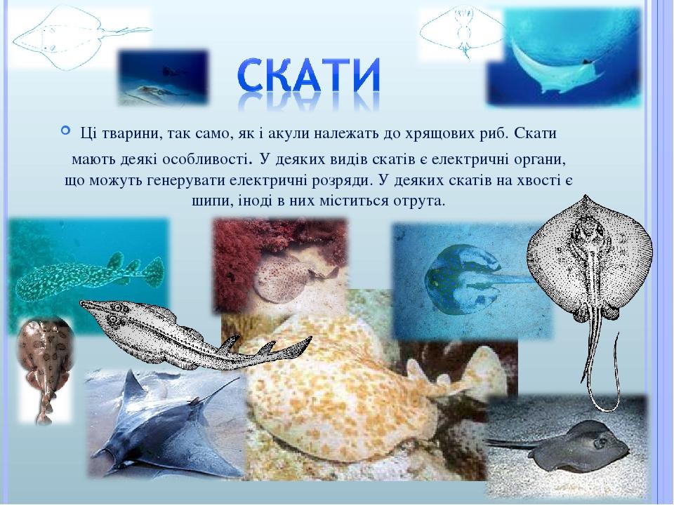 Ці тварини, так само, як і акули належать до хрящових риб. Скати мають деякі особливості. У деяких видів скатів є електричні органи, що можуть гене...